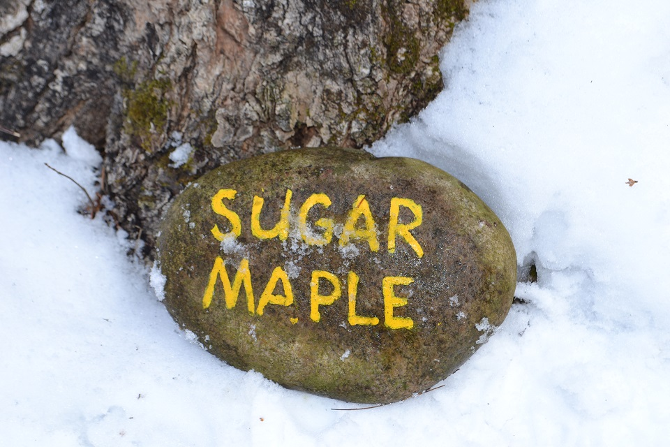 Sugar maple rock at Up Yonda