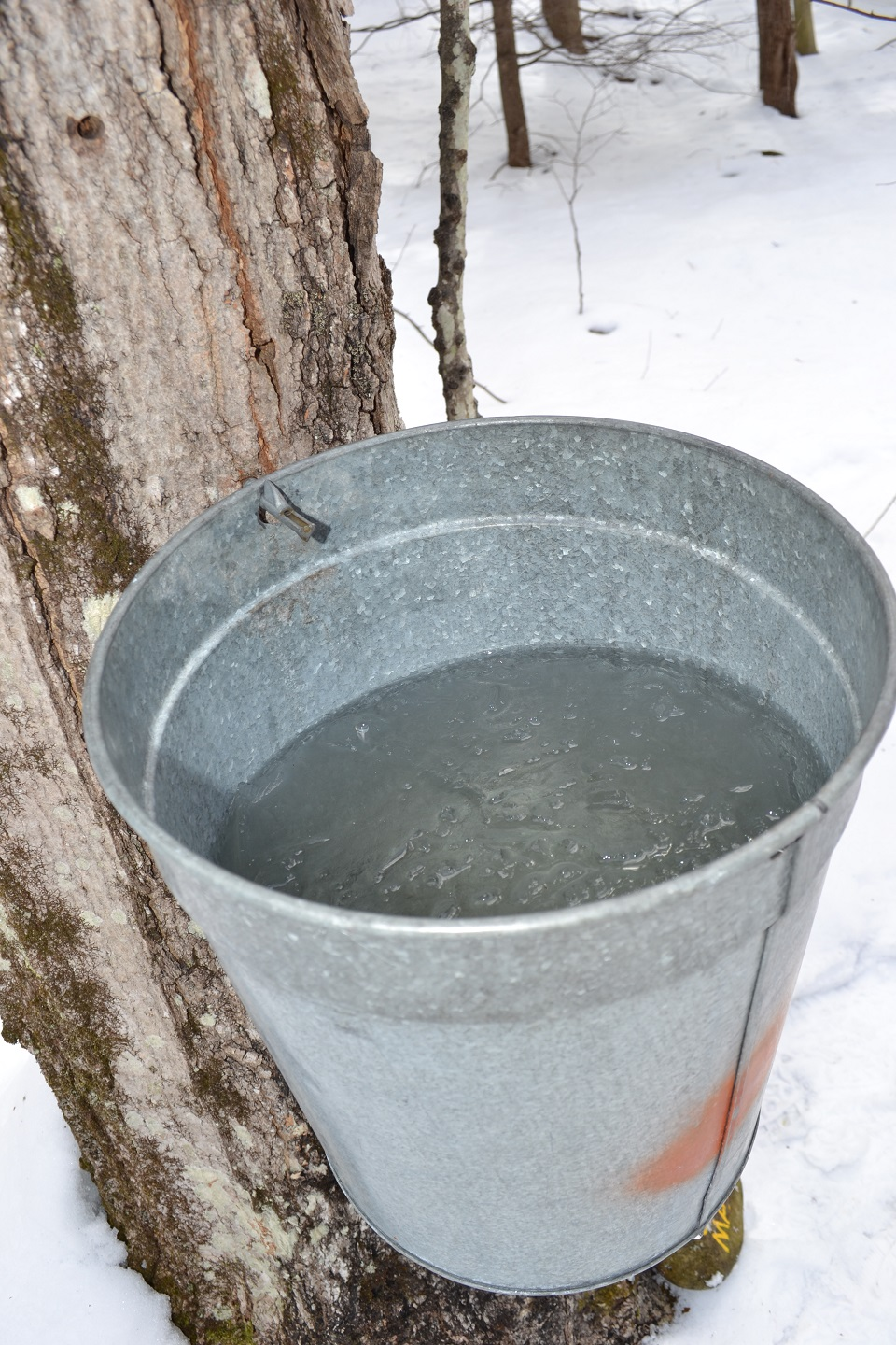 Sugar maple full of sap at Up Yonda