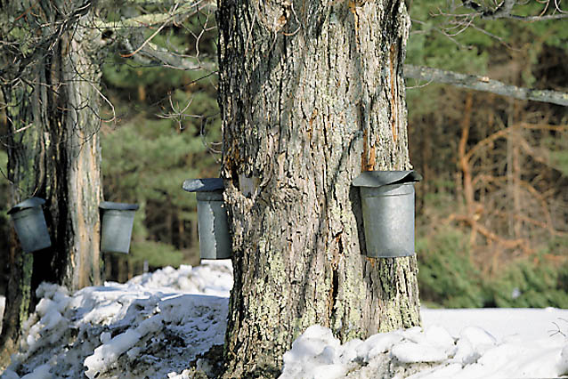 Maple Tree and Bucket