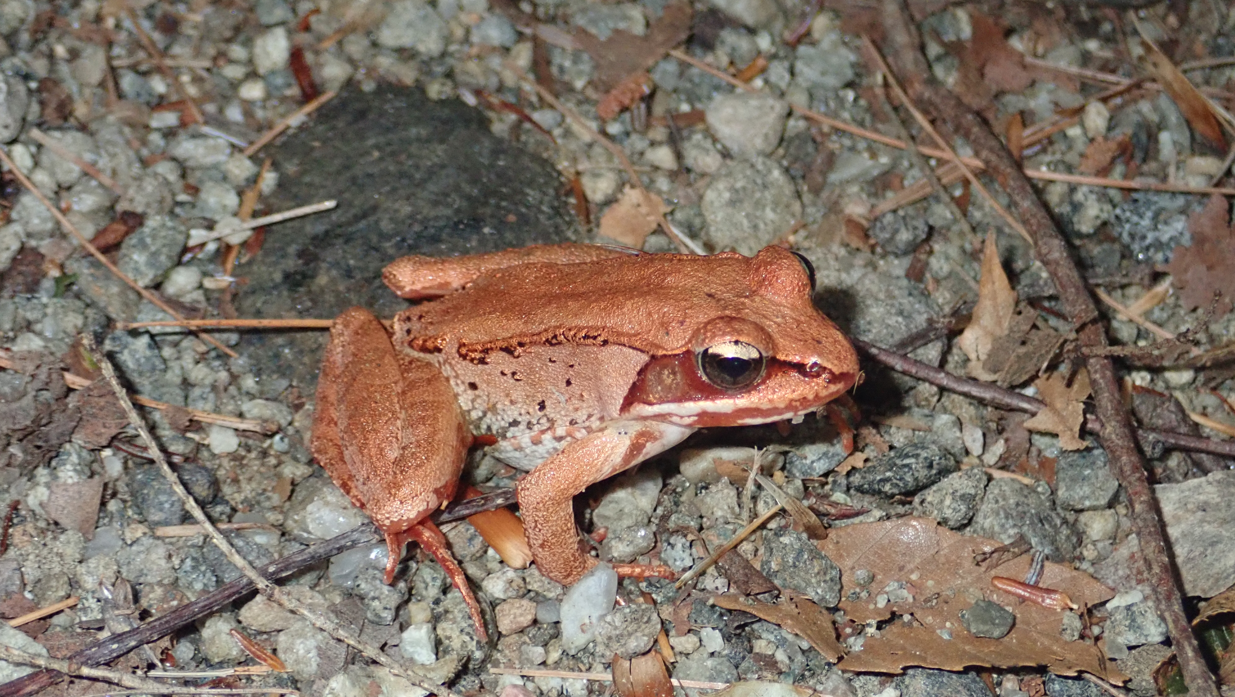 Wood frog on Cat Mountain