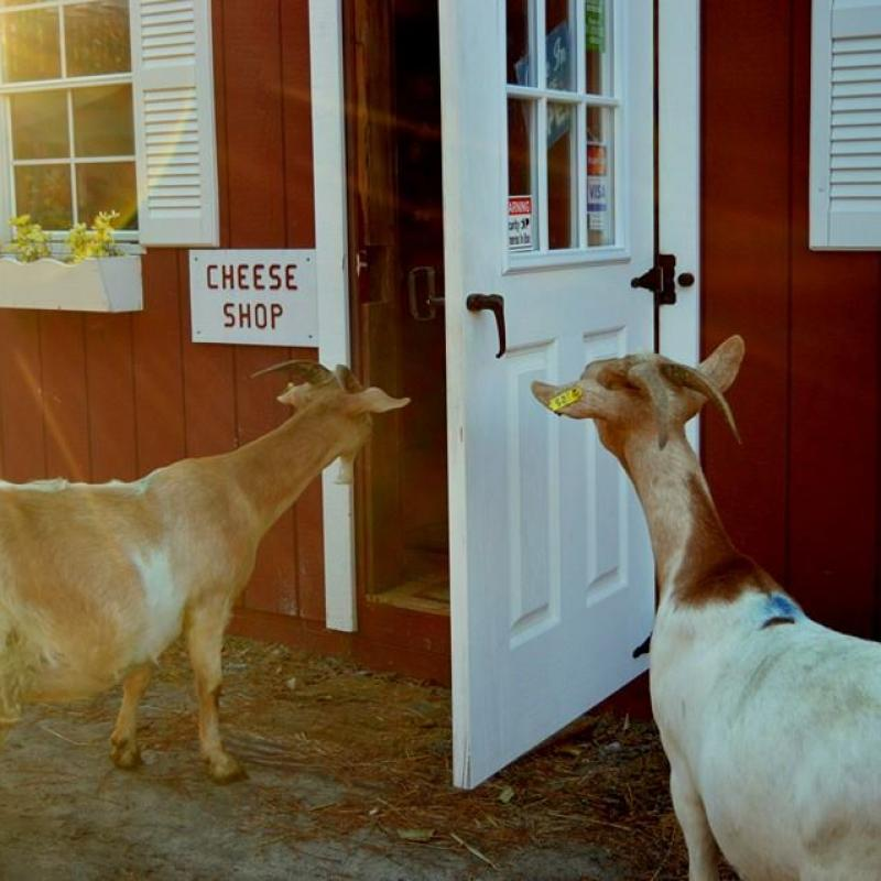 Goats looking in the door of the cheese shop at Nettle Meadow